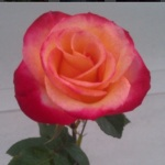 April_thomasville.rose