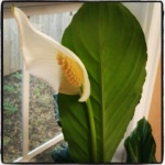 March_Peace Lily
